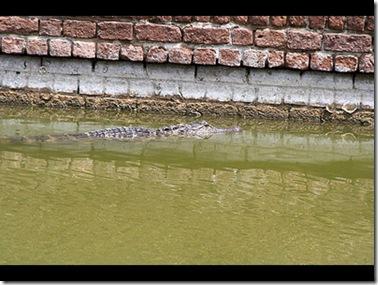 alligatormoat